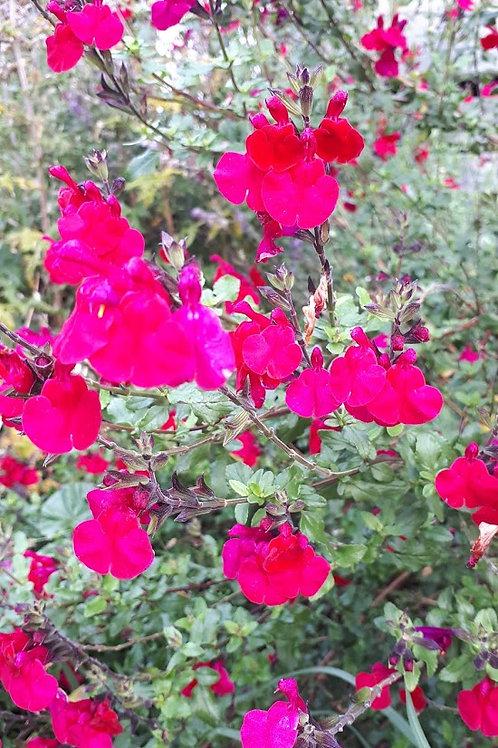 Salvia microphylla 'Killer Cranberry'