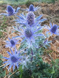Eryngium x zabelii 'Violetta'