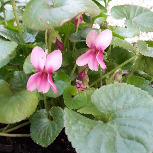 Viola odorata rosea