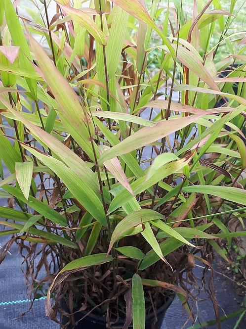 Chasmanthium latifolium (Indian Wood Oats)