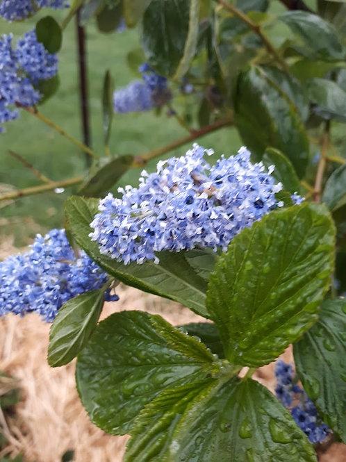 Ceanothus arboreus'Trewithin Blue' (Californian Lilac)