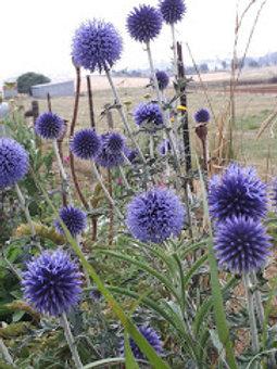 """Echinops ritro """"Veitch's Blue'"""