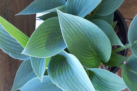 Hosta spp. (small blue leaves)