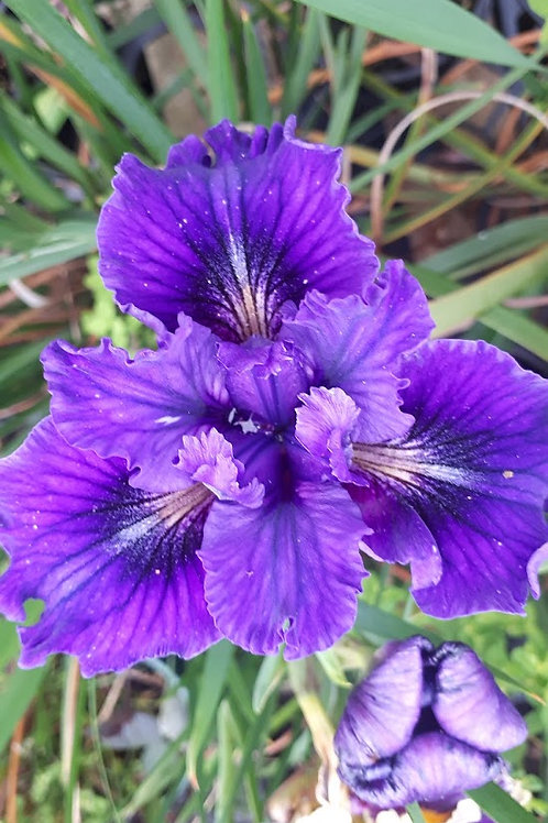 "Pacific Coast Iris 'Royal Purple - BTN"""