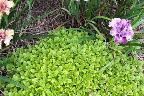 Oreganum vulgare 'Thumble's Variety'