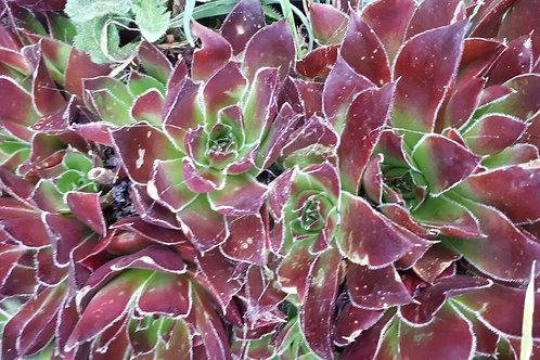 Sempervivum spp (burgundy & green) large pot 100mm