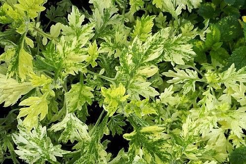 Artemisia  'Oriental Limelight'