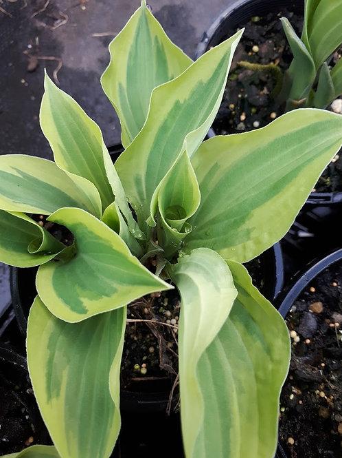 Hosta spp. (Dark Green Stripe/Light Green Outer))
