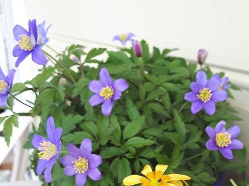 Anemone nemerosa (Blue)