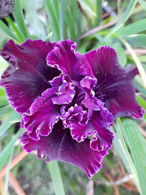 Pacific Coast Iris 'Unamed - A' - colour unknown yet
