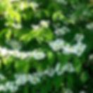 viburnum p.mariesii.jpg