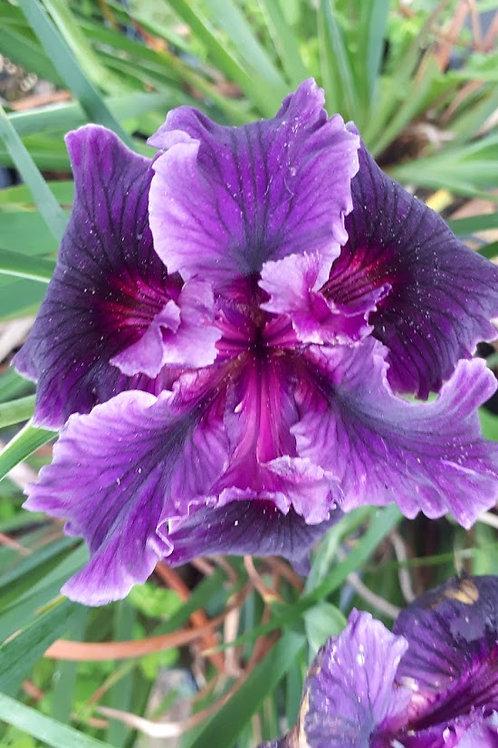 "Pacific Coast Iris 'Two-tone Purple - BTN"""