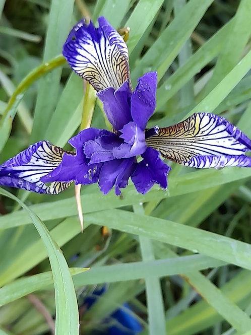 Iris siberica (Purple & white)