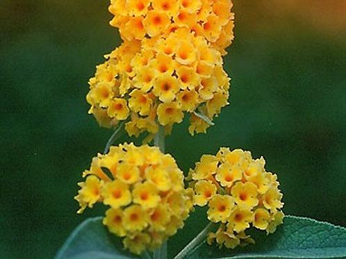Buddleja x weyeriana 'Golden Glow'