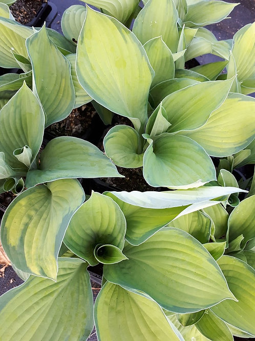 Hosta (light green and dark green)