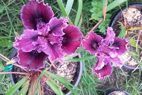 Pacific Coast Iris 'Red Light'
