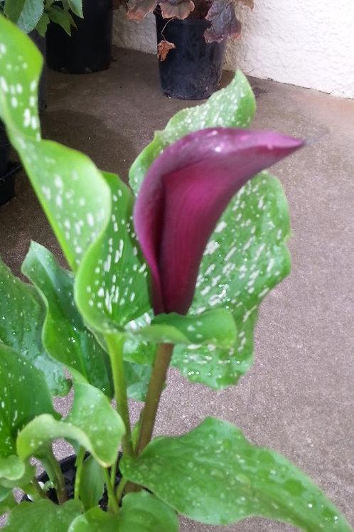 Zantedeschia 'Wine Red' (Calla Lily)
