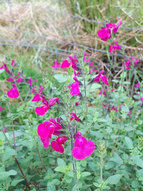 Salvia 'Jane's Delight'