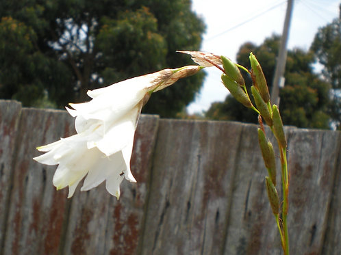 Dierama spp(white)