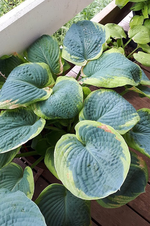 Hosta spp. (Blue center, yellow rim)