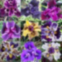 PC iris combo pic.jpg