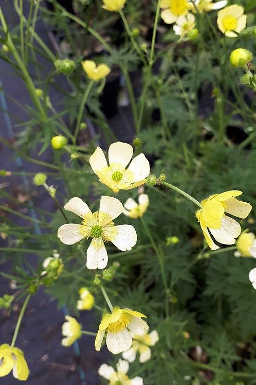 Ranunculus acris 'Farrer's Yellow'