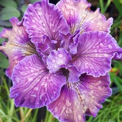 Pacific Coast Iris 'European Mist'