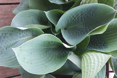 Hosta spp. (large blue leaves)