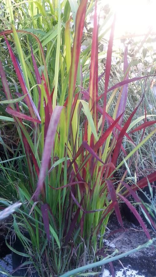 Ornamental Grasses Australia Imperata cylindrica rubra mail order nursery australia herbaceous ornamental grass workwithnaturefo