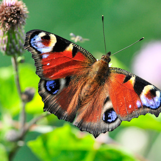 bigstock-The-European-Peacock-aglais-I-3