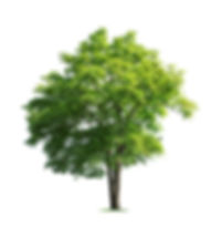Tree isolated on white background high r