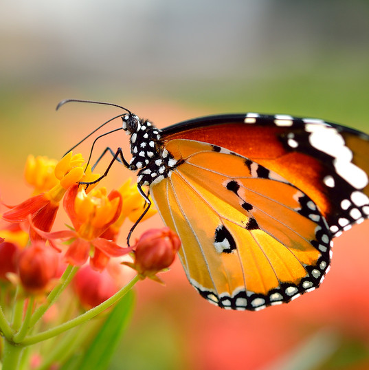 bigstock-Butterfly-On-Orange-Flower-In--
