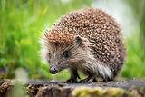 bigstock-Cute-common-hedgehog-on-a-stum-