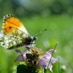 bigstock-Orange-Tip-Butterfly-Butterfl-2