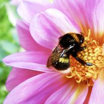 bigstock-Bumblebee-Pollinating-Flower--3