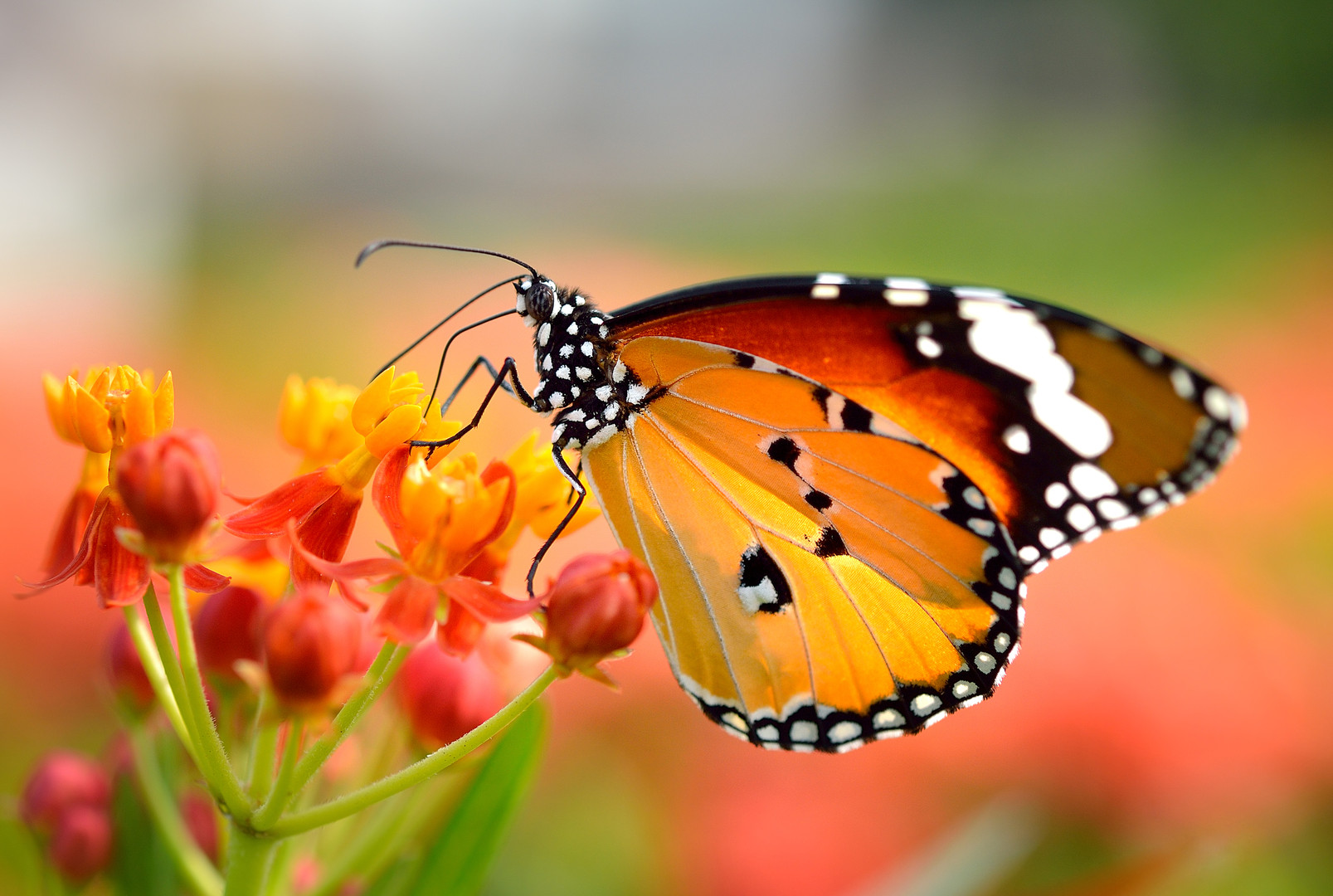 Butterfly On Orange Flower In The Garden