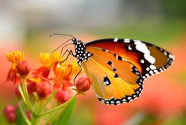 Butterfly On Orange Flower In The Garden
