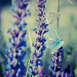bigstock-Blue-butterfly-on-flower-583504