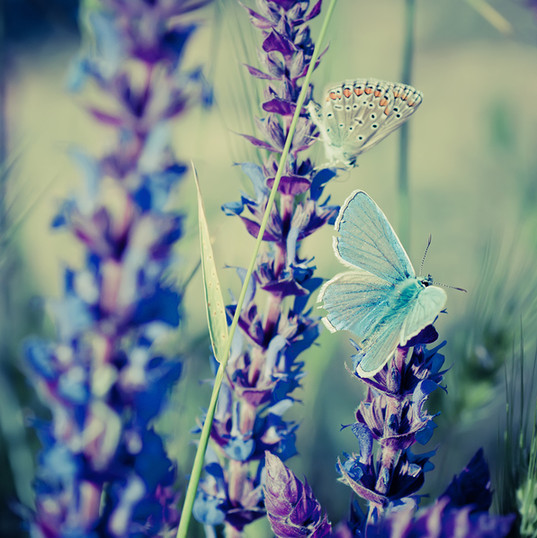 bigstock-Blue-butterfly-on-flower-583504