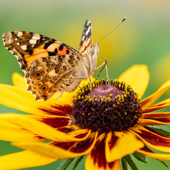 bigstock-Butterfly-Vanessa-Cardui-Sits--
