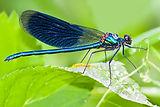 Great British Bug Hunt Blue Dragonfly.jp