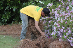 Spreading Pine Straw
