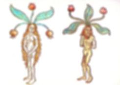 Botanical-Medieval-Male-And-Female-Mandr