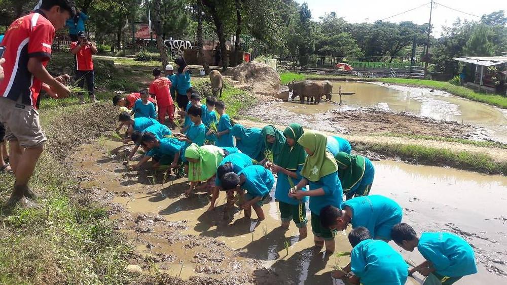kegiatan agro sawah Citra Alam Riverside