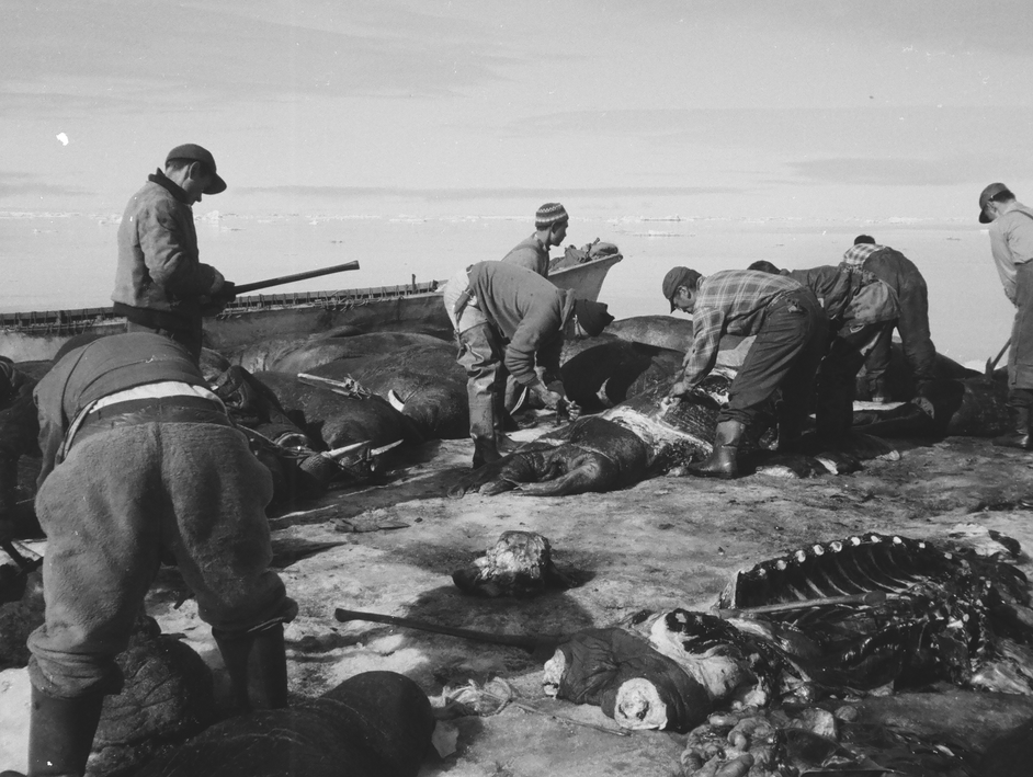 A group of hunters butcher walrus hravested on an ice floe in spring.