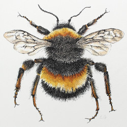 Northern White-tailed Bumblebee