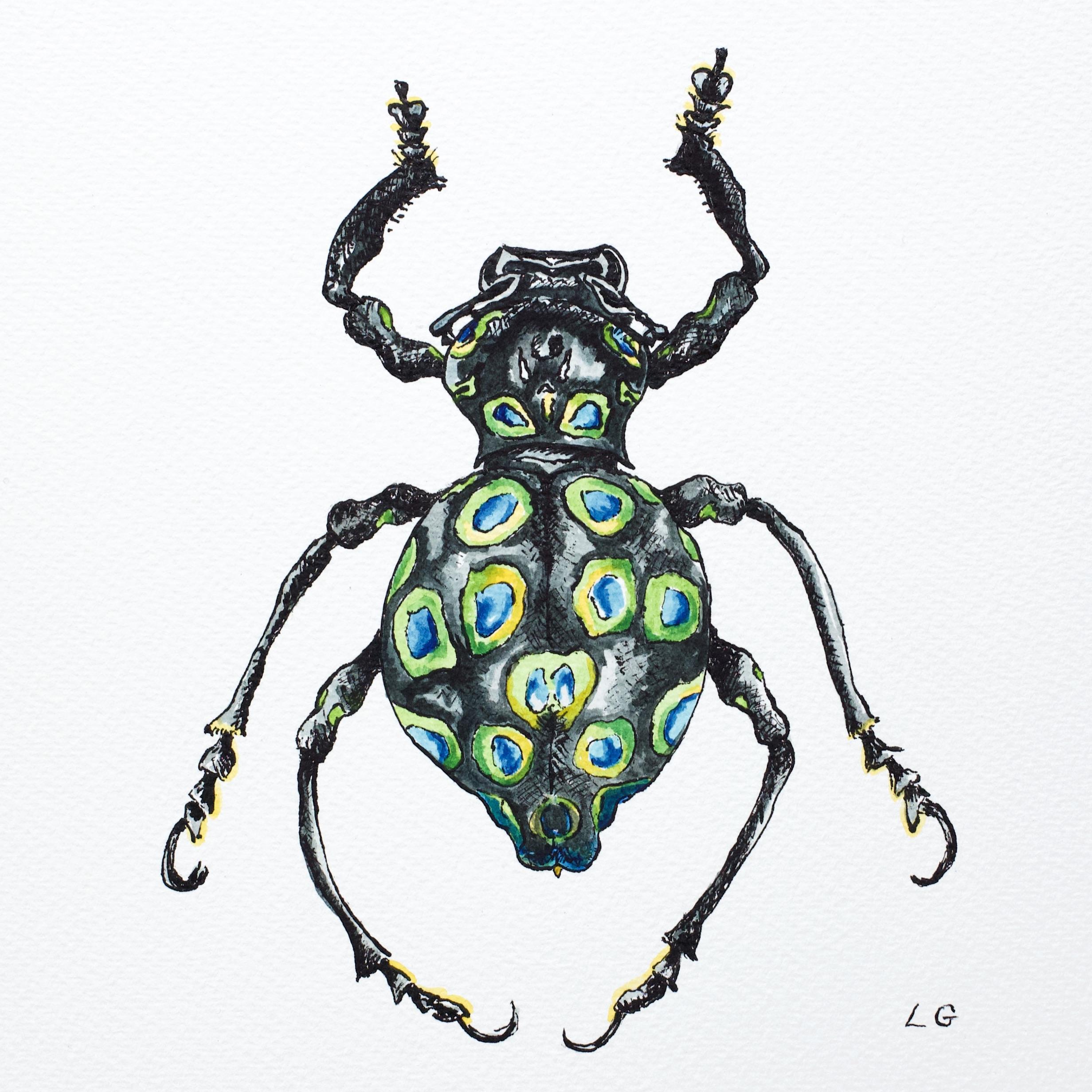 Polkadot Rainbow Weevil
