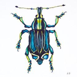 Eupholus Bennetti Beetle