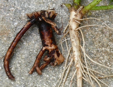 Wurzeln ausgraben