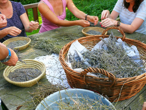 Wasserdampfdestillation Lavendel